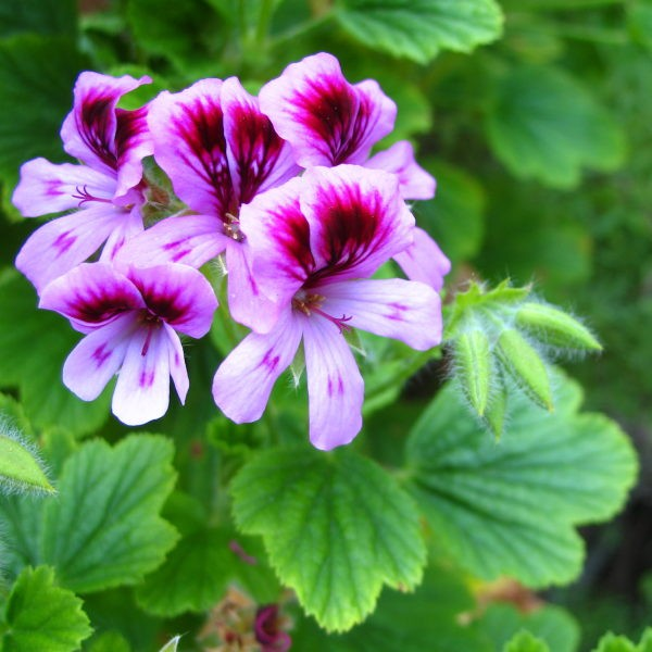 how to make rose geranium essential oil